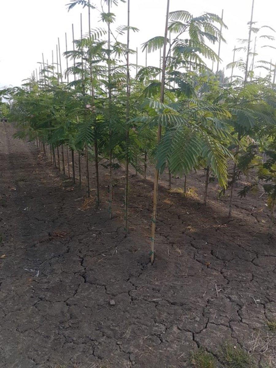 Perzische slaapboom - Albizia julibrissin 170-190 cm incl pot kopen