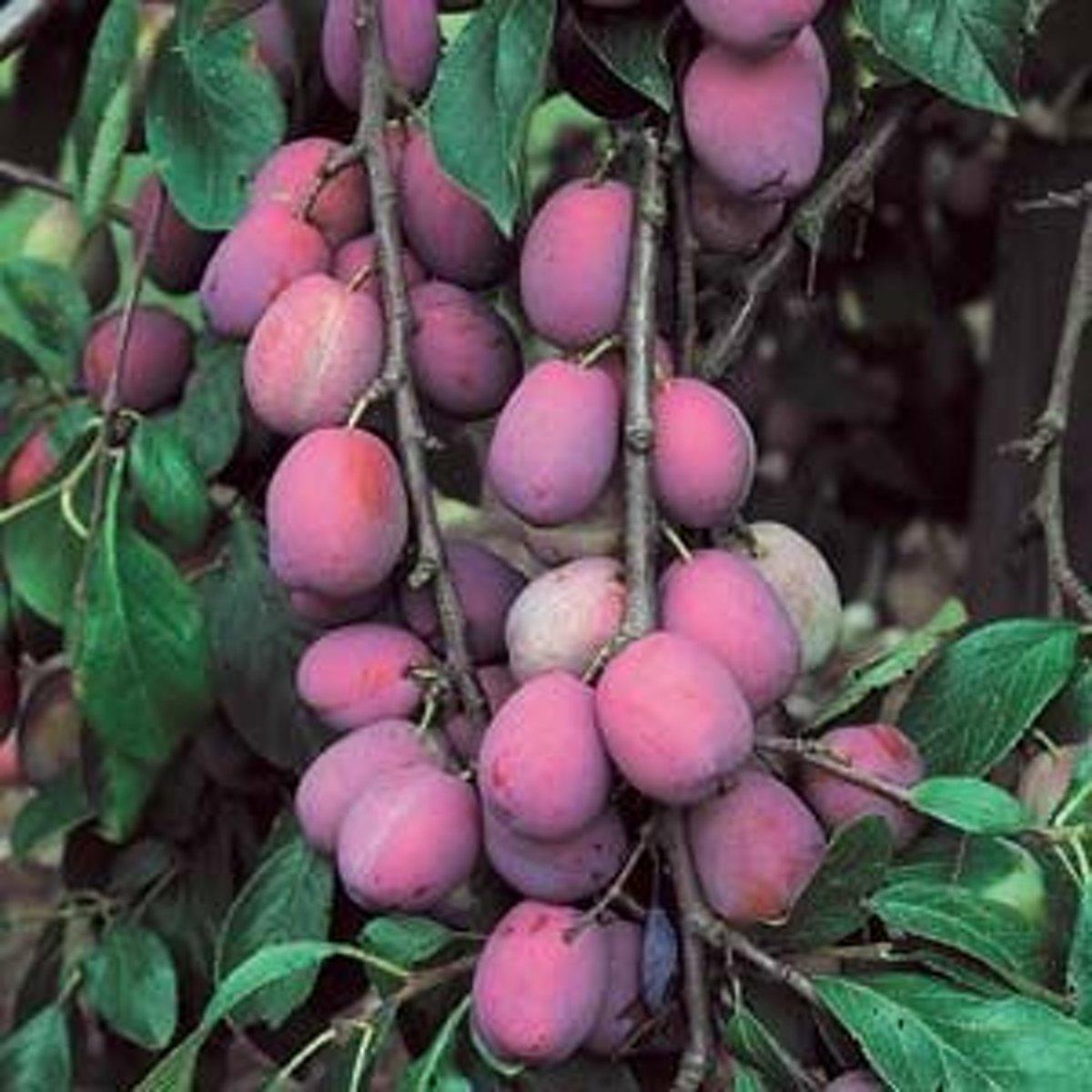 Prunus Domestica 'Victoria' - Pruim - Halfstam 150cm Pot kopen