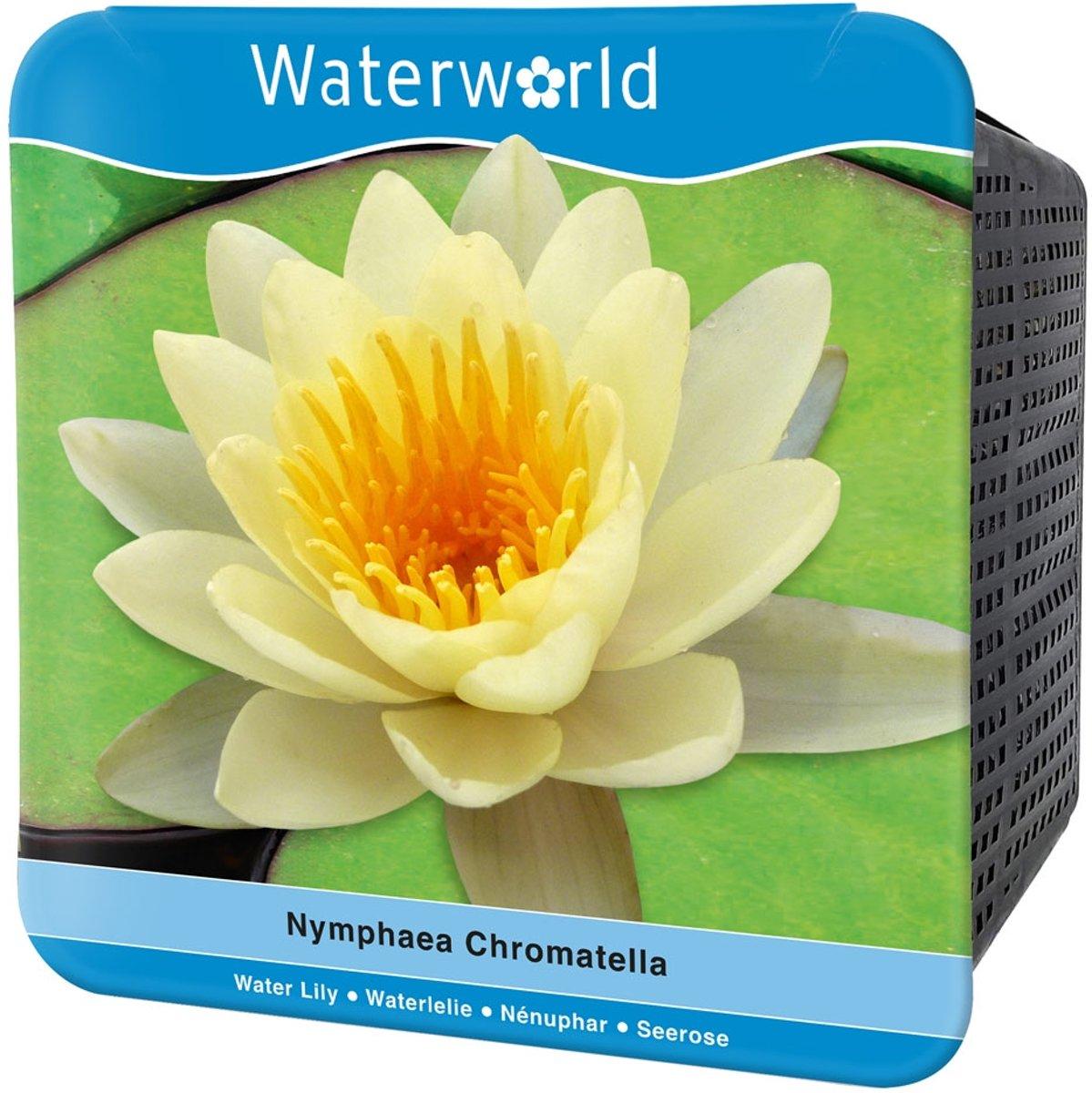 Waterworld Aqua Set Nymphaea Chromatella - Gele Waterlelie - (Waterlelie, Vijvermandje, Klei, Grind & Voeding) kopen
