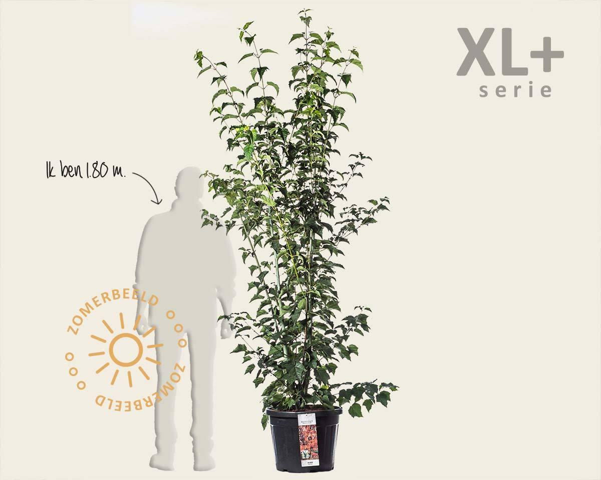 Acer davidii - XL+ kopen