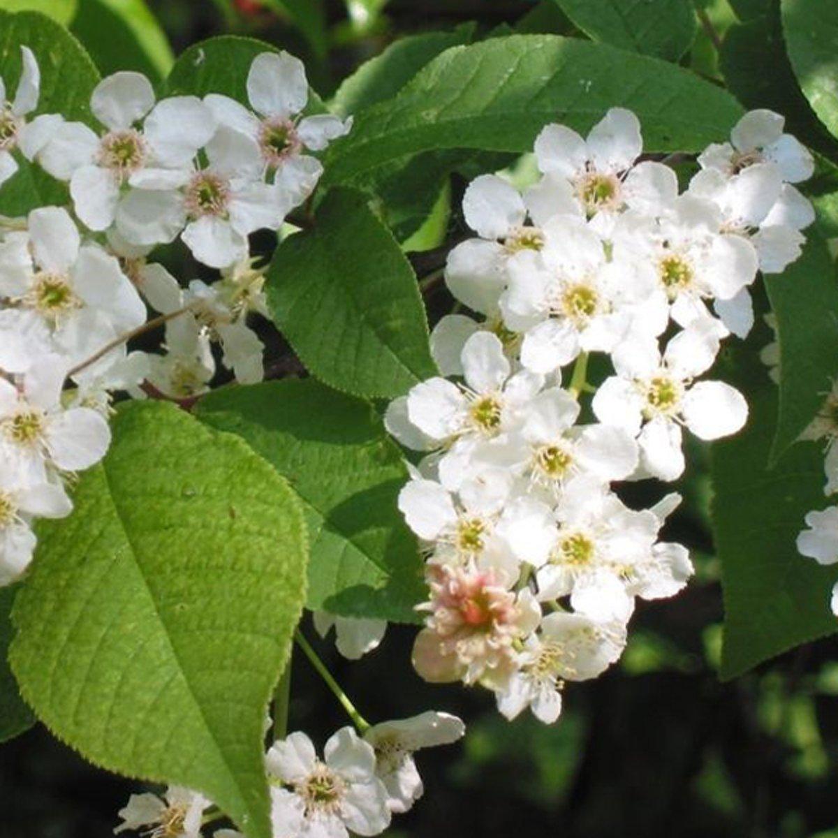 Prunus Padus - Vogelkers - Hoogte 375 cm pot kopen