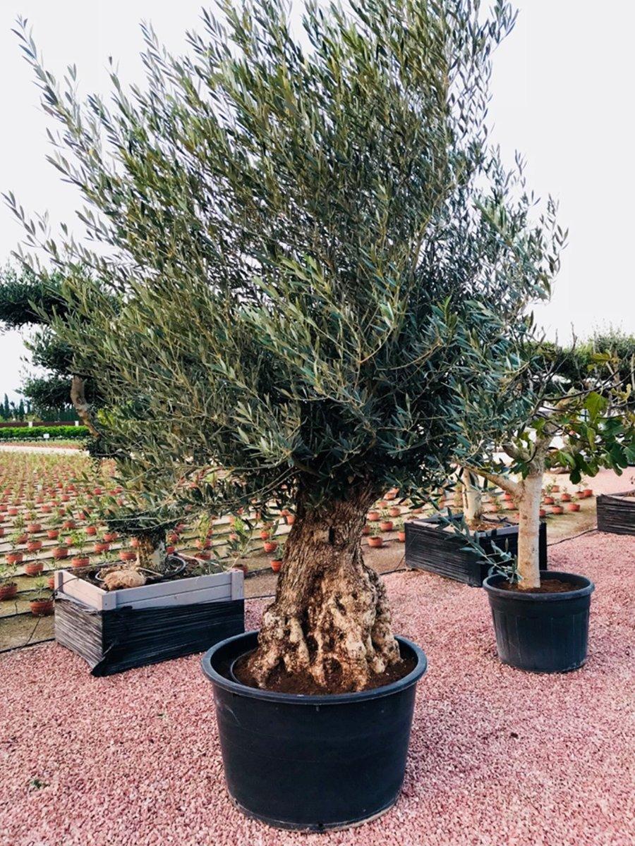Oude Olijfboom Met Een Dikke Stam 190-250 cm incl pot kopen