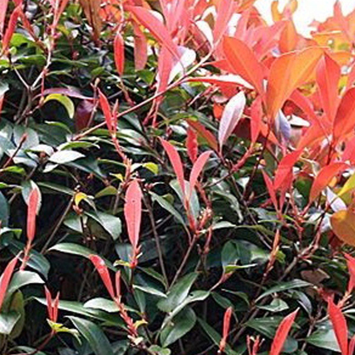 Photinia Fraseri 'Red Robin' - Glansmispel - Hoogte 325 cm pot kopen