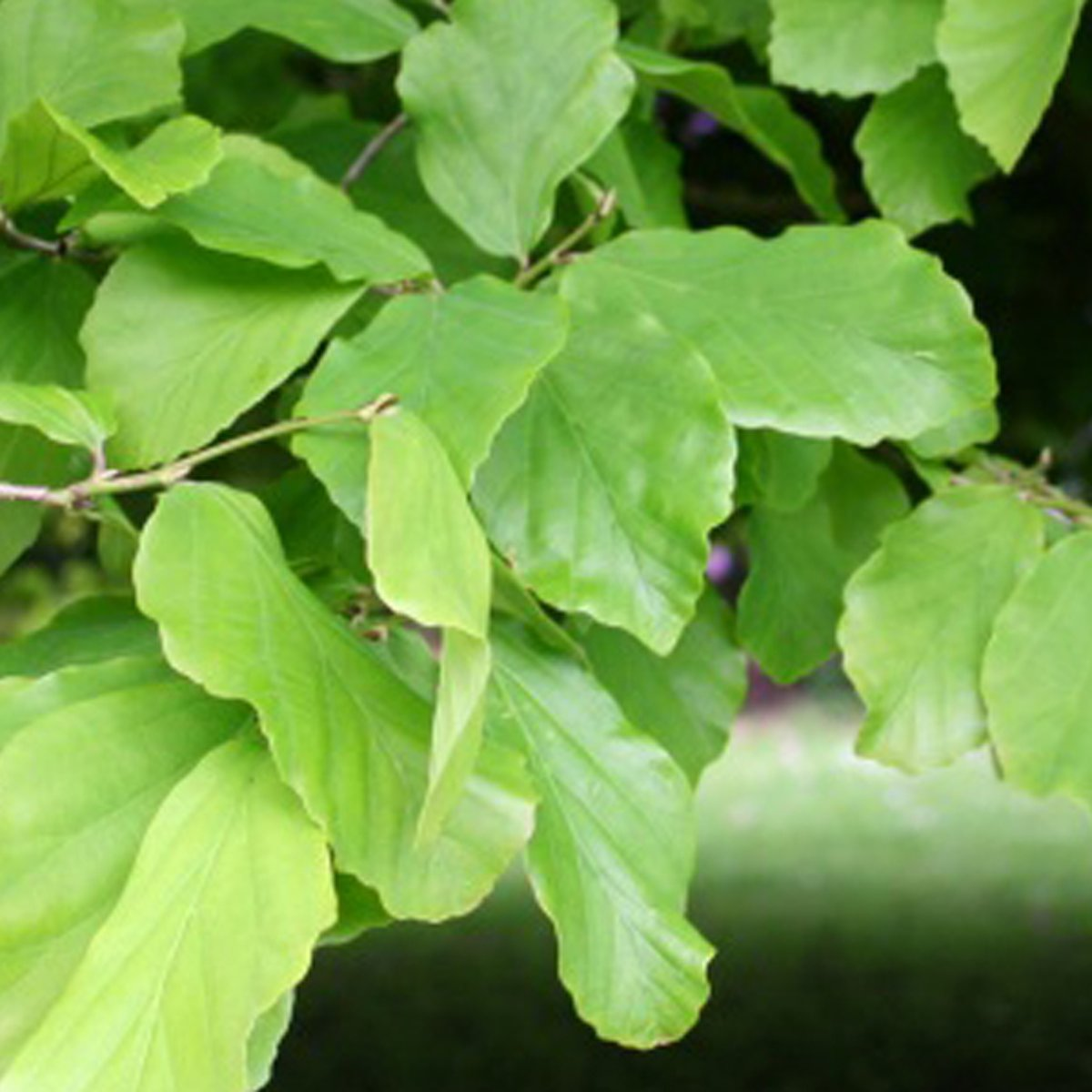 Parrotia Persica   - Perzisch Ijzerhout - 150-175 cm kluit kopen