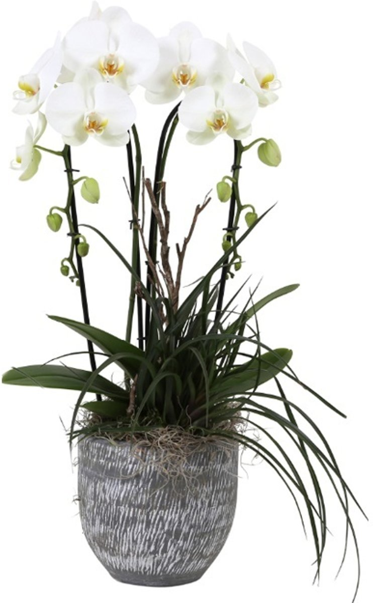Orchidee Adar 2 Tak Cascade Wit