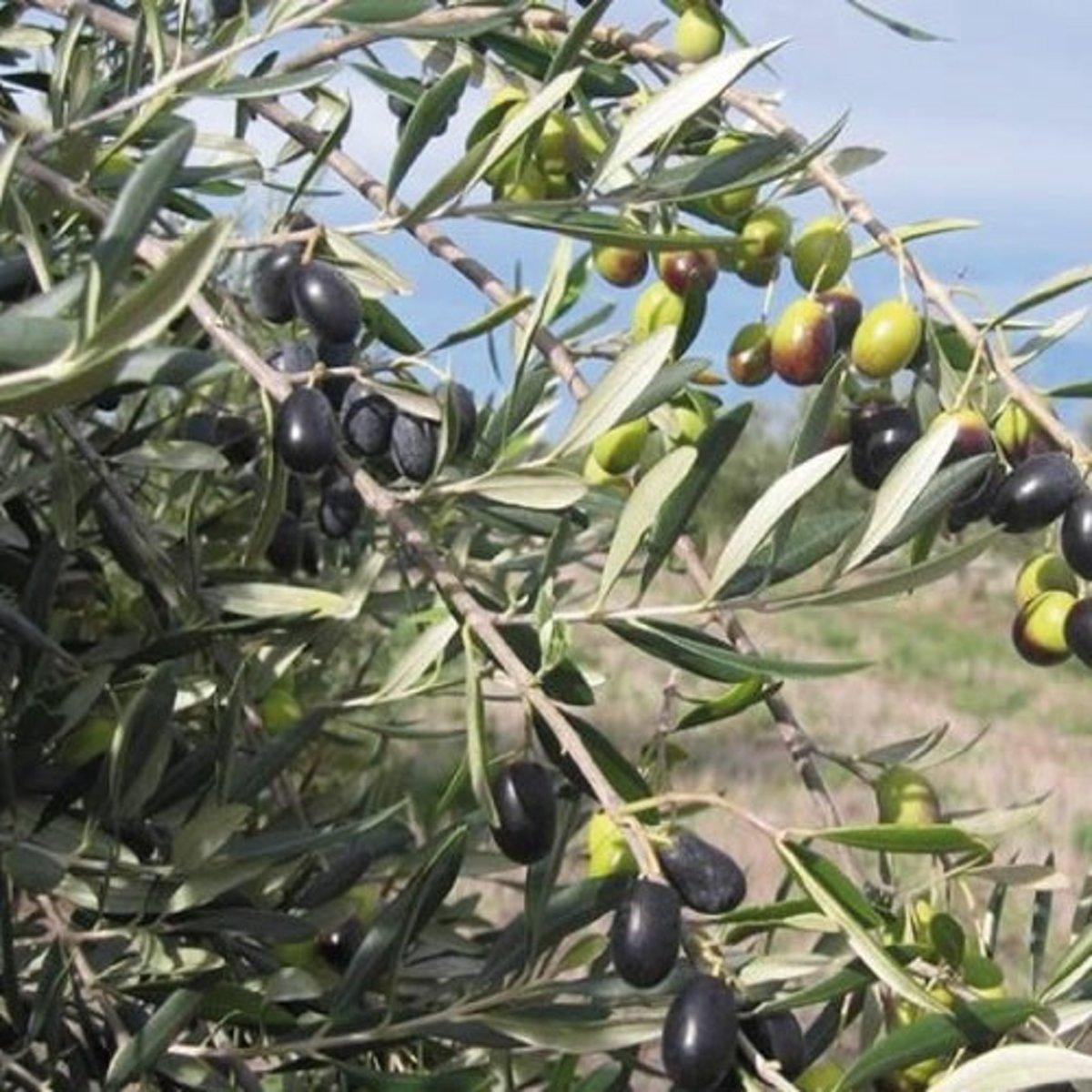 Olijfboom - Cipressino kopen