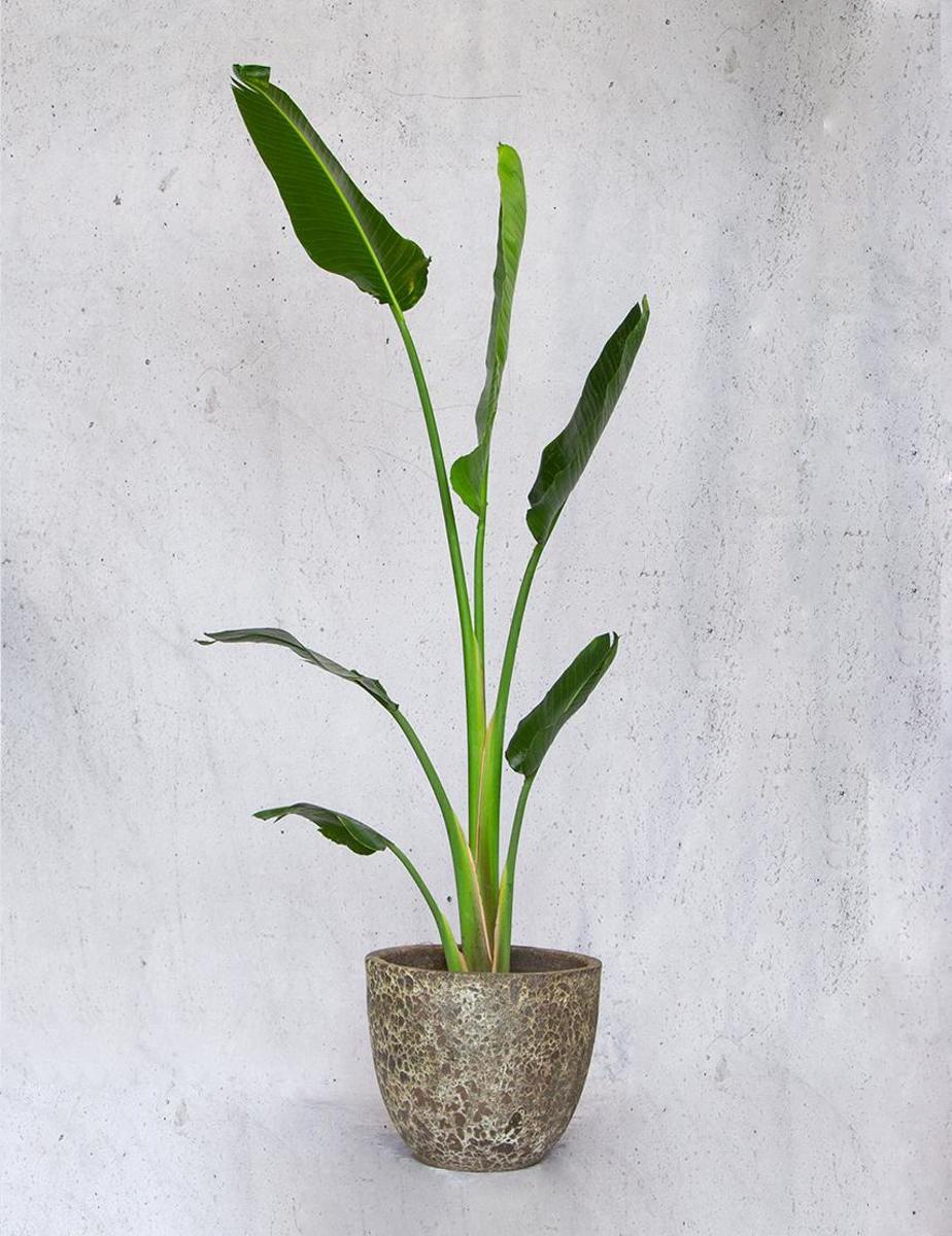 Trendy groene kamerplant & sierpot - Lava Basso Strelitzia Nicolai enkele stam, incl. waterdichte binnenhoes, hydrokorrels en watermeter