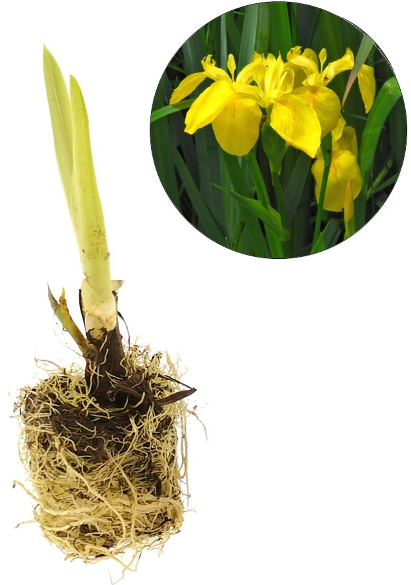 Waterworld Iris Pseudacorus - Gele Lis - Losse Pluggen - 30 Stuks kopen