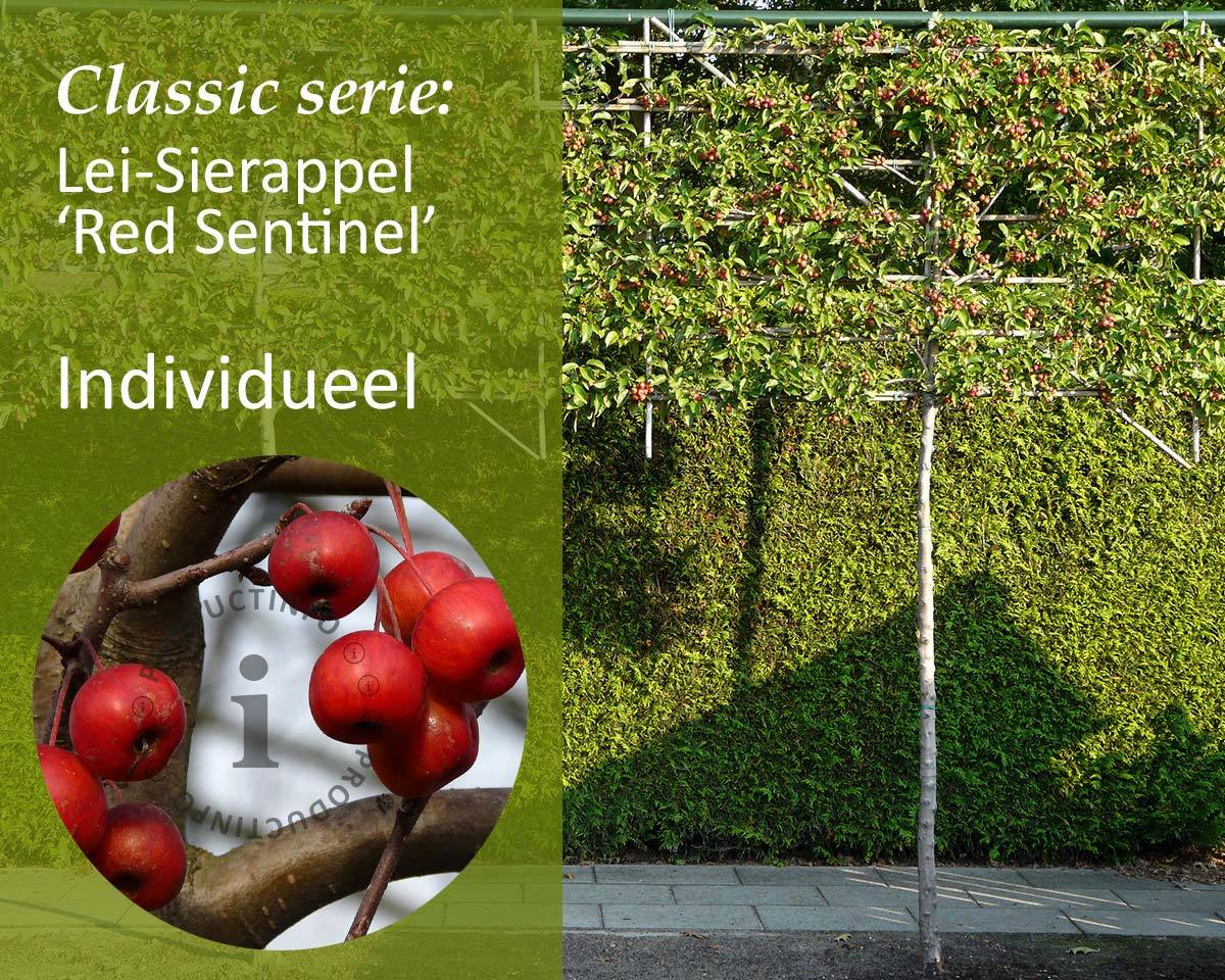 Lei-Sierappel 'Red Sentinel' - Classic - individueel kopen