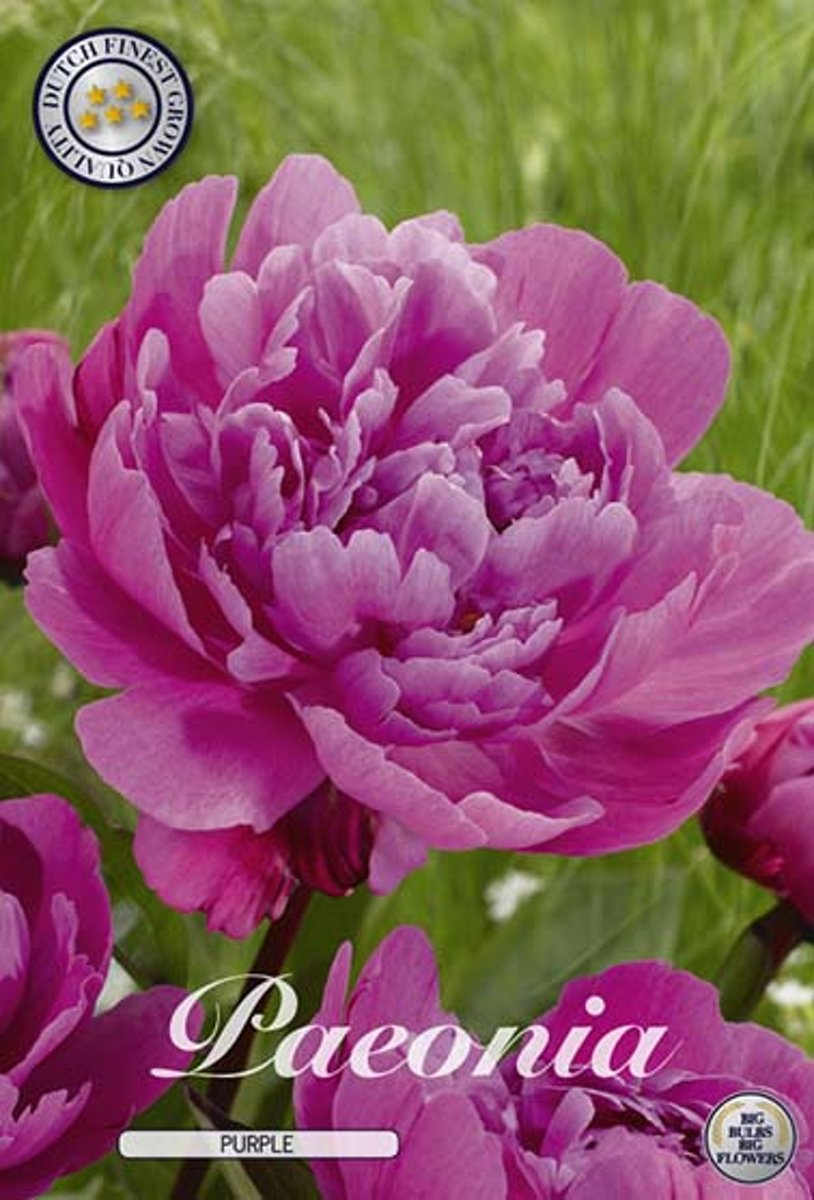 Pioenroos Purple 1 Wortel kopen