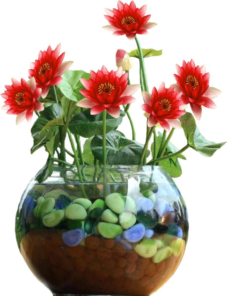 Rode Lotus Set DIY. Leuk Cadeau Moederdag Verjaardag Kantoor Plant kopen