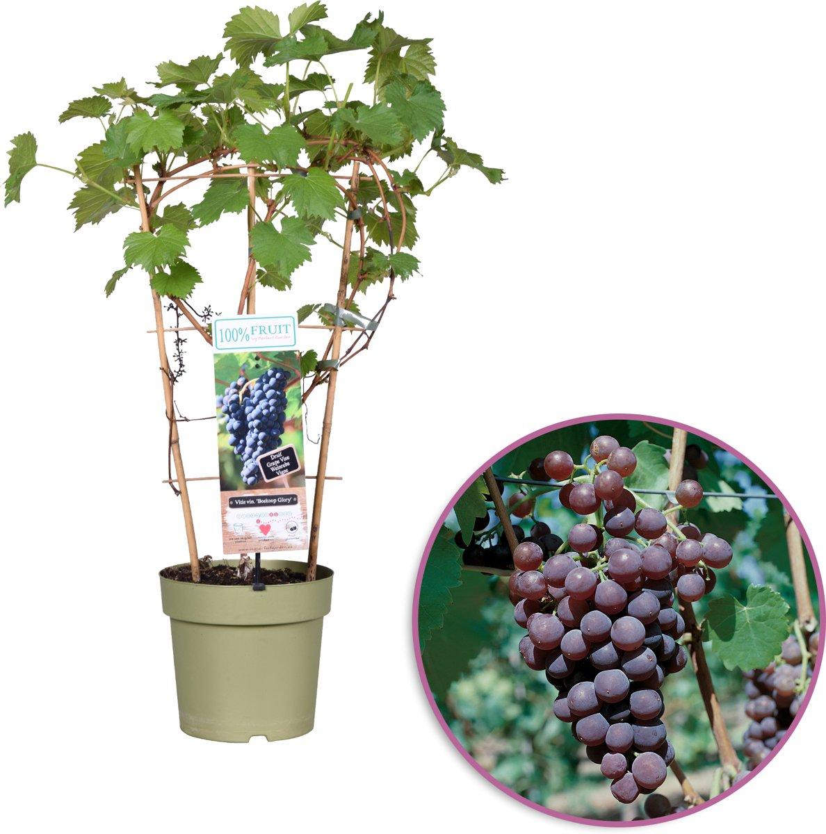 Druivenplant (blauw), Vitis Boskoop Glory op rek
