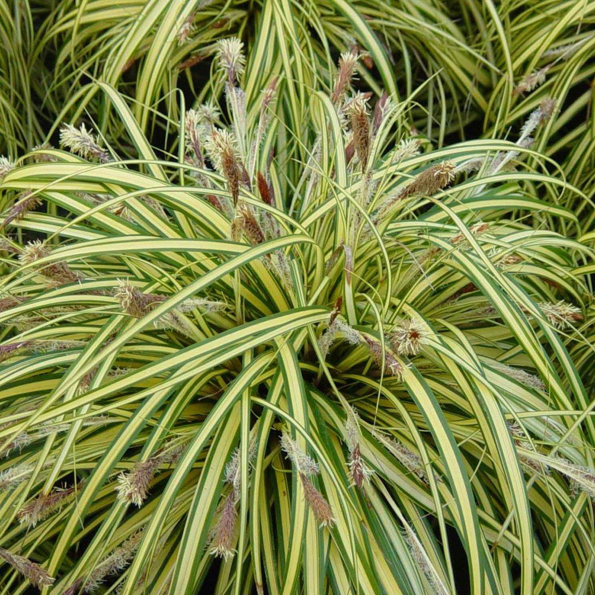 6 x Carex Morrowii 'Variegata'  -  Zegge -  pot 9 x 9 cm kopen