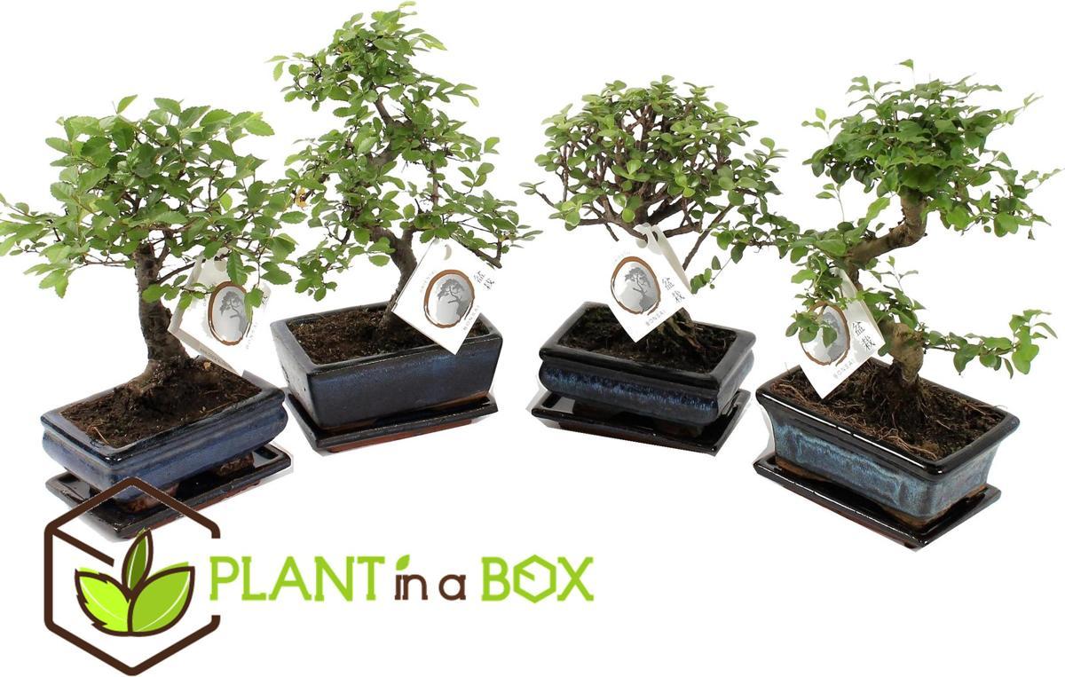 PLANT IN A BOX Chinese Bonsai boompjes - Set van 2 stuks - In keramieken schaal + lekschotel - Hoogte ↕ 20 - 30 cm