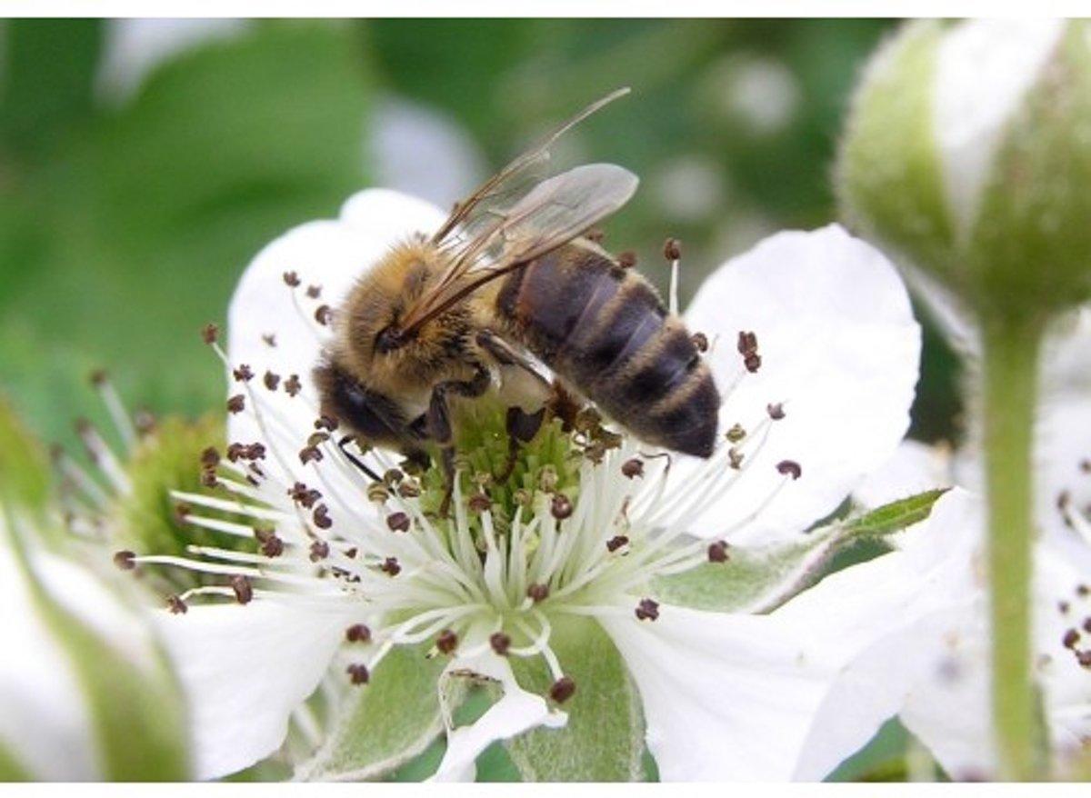 Veldbloemen Brandenburger bijenmengsel 250 gram kopen
