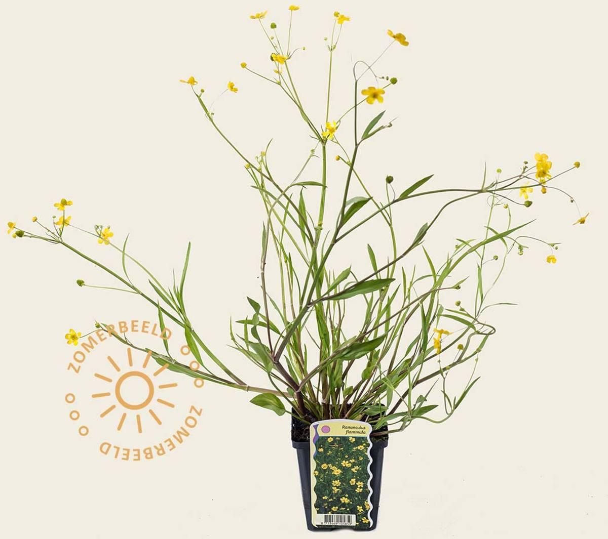 Ranunculus flammula kopen