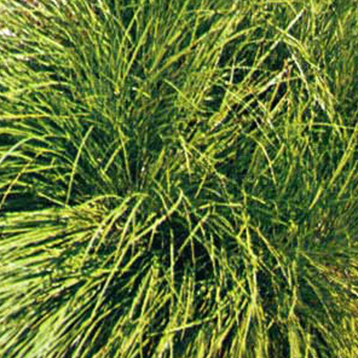 6 x Carex Umbrosa - Schaduwzegge pot 9x9cm kopen