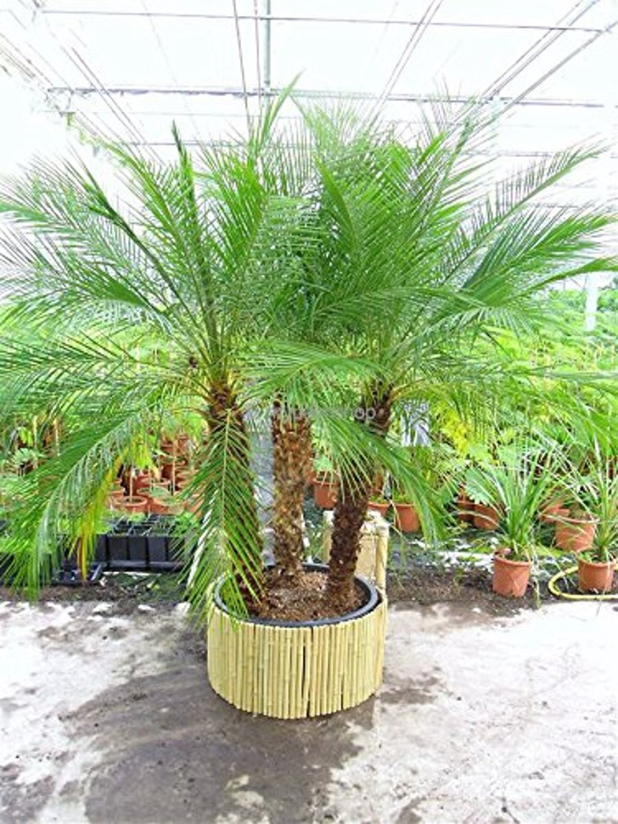 Bamboe op rol | 35cm x 200cm | Bamboe Rolscherm naturel | Ook ideaal als camouflage van plantenbakken / bloempotten