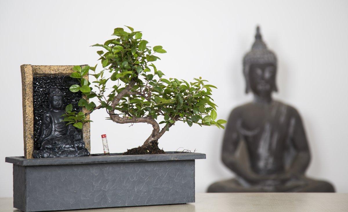 PLANT IN A BOX Bonsai boompje met Easy-care watersysteem én stromende waterval over Buddha beeldje - 1 stuk - Hoogte ↕ 25 - 30 cm