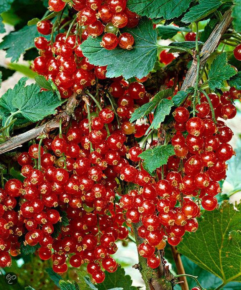 Aalbes' Aalbessen ' Rode bes / Junifer op stam 7 liter