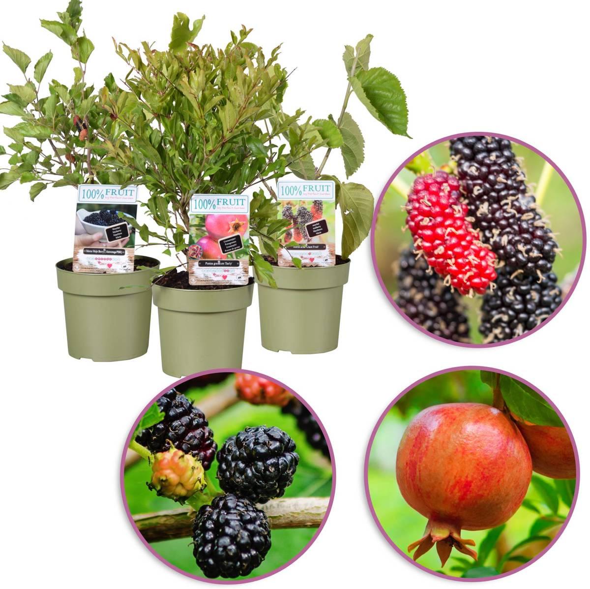 Exotische fruitbomen mix, 3 stuks kopen