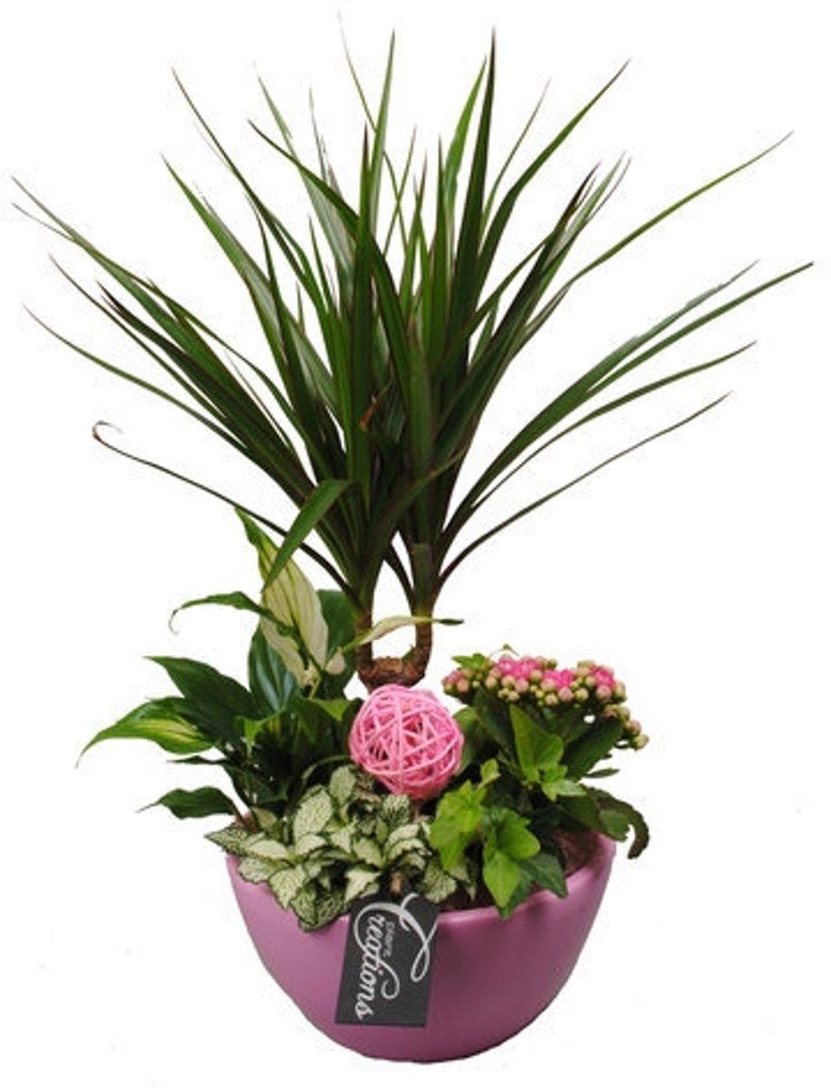 Plantenarrangement in roze keramische pot - Hoogte: 45 cm - Bevat: Dracaena, Spathiphyllum, Hedera, Fittonia en een Kalanchoë