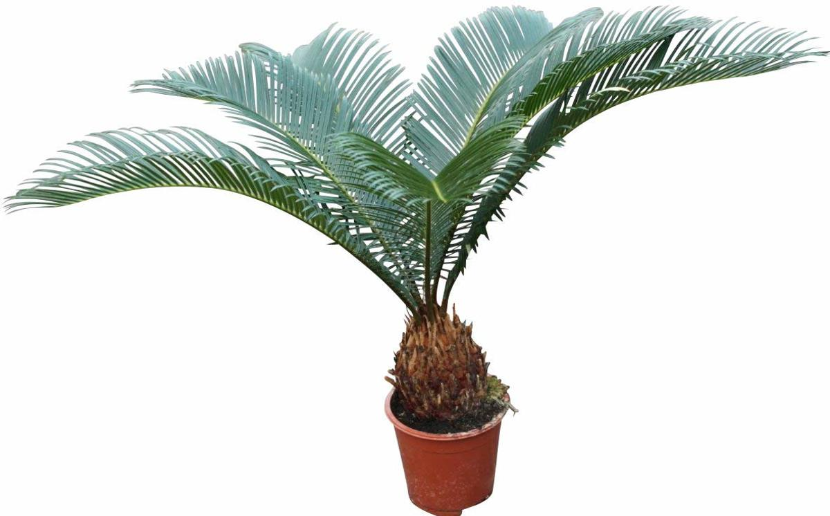 Cycas Revoluta - Japanse Sago Palm - Kamerplant - Huis of Kantoor Plant kopen