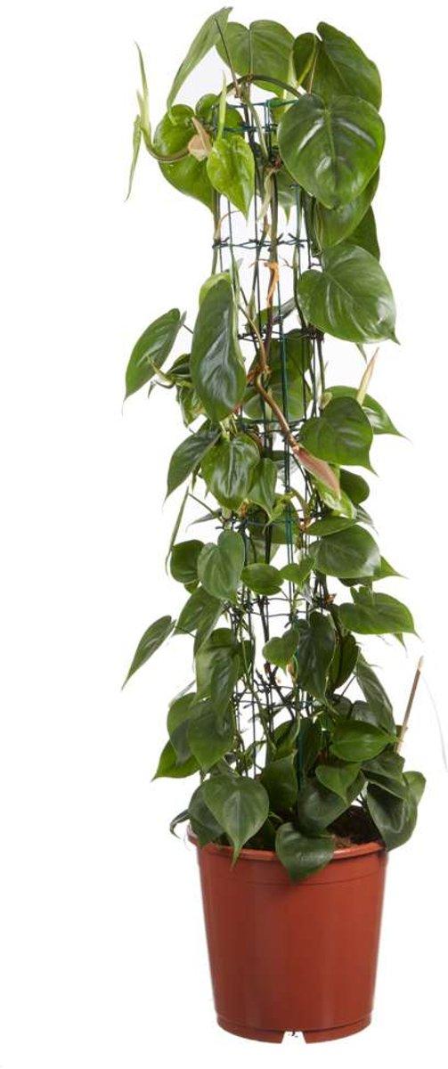 Choice of Green - Philodendron scandens - aan rek - Kamerplant in Kwekerspot ⌀24 cm - Hoogte ↕120 cm