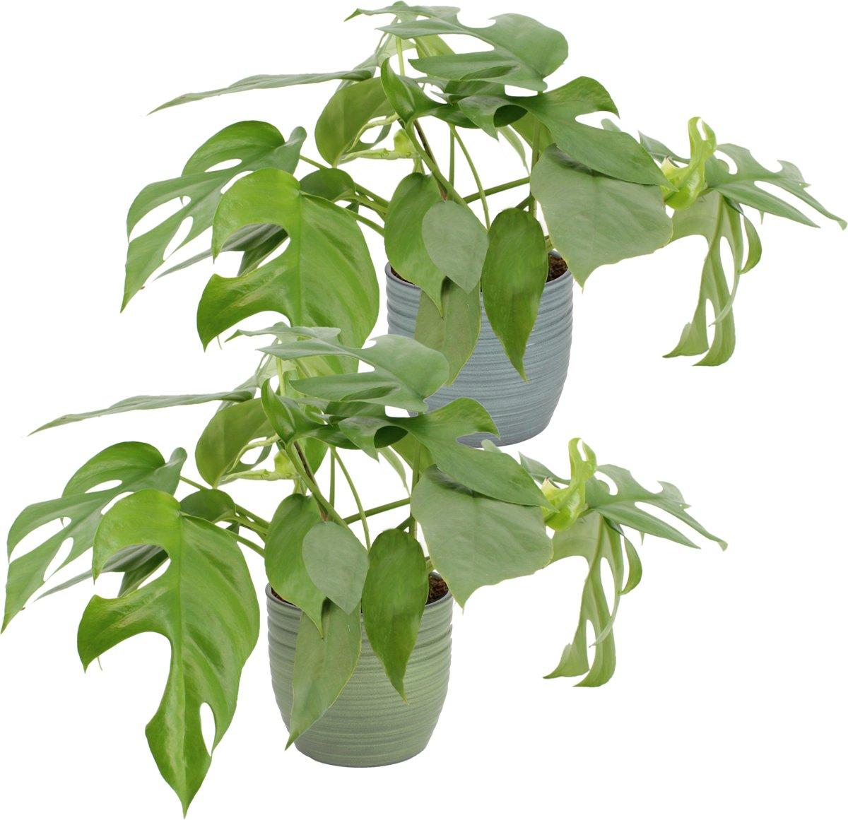 Kamerplanten van Botanicly | 2 × Duo Monstera minima | Hoogte: 25 cm  | Monstera minima kopen