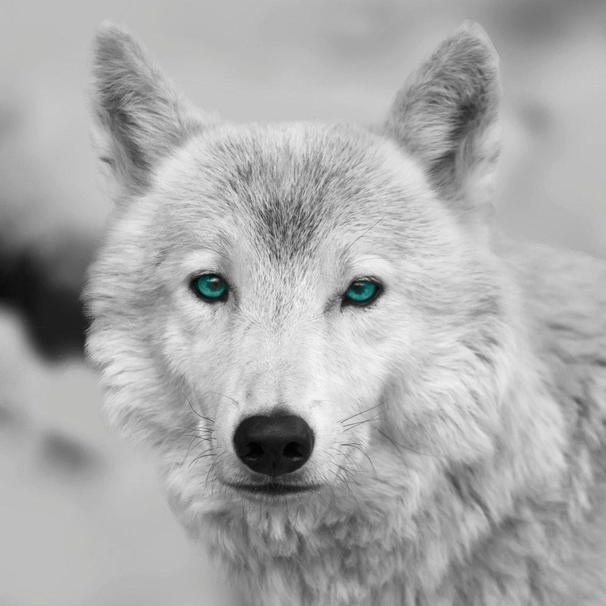 Canvas Wolf 35x35cm kopen