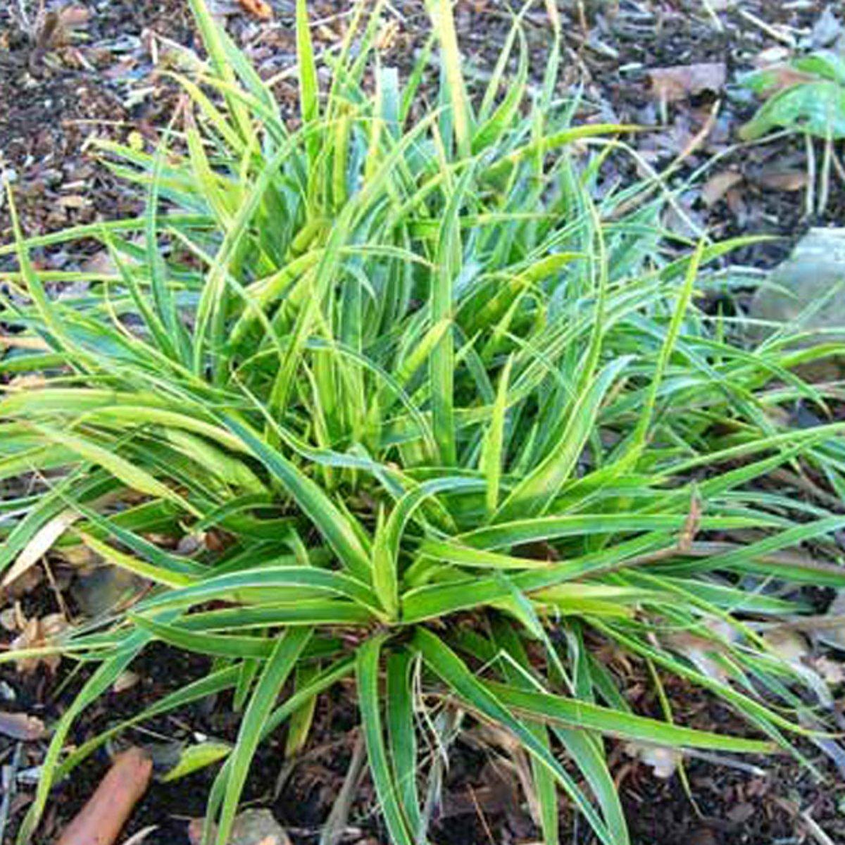 6 x Luzula Sylvatica 'Marginata' - Veldbies pot 9x9cm kopen