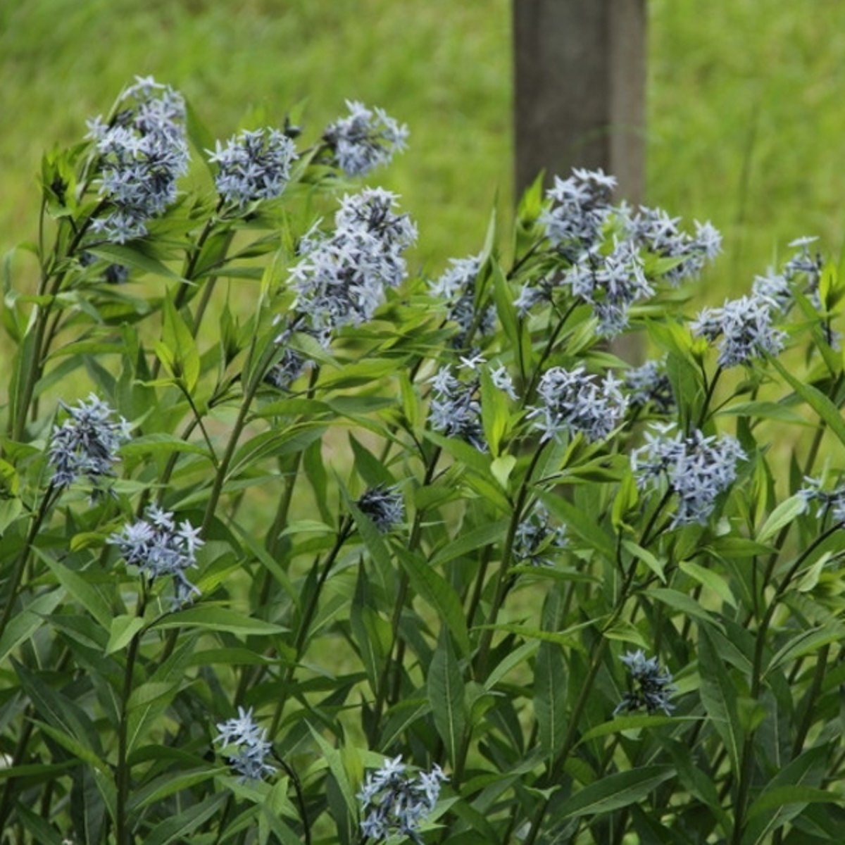 6 x Amsonia Tabernaemontana - Blauwe ster/stermaagdenpalm pot 9x9 cm kopen