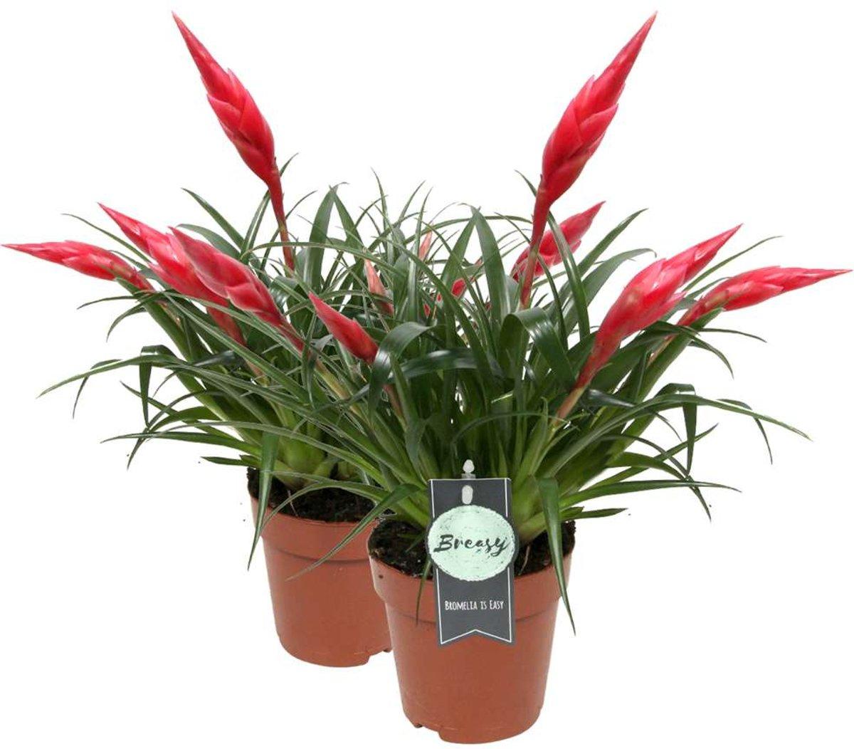 Breasy® - 2 Bromelia's Vriesea Multiflora Astrid Rood - Kamerplant in Kwekers Pot ø12 cm - Hoogte Bromelia ? 42 cm kopen