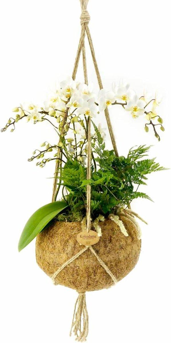 Kokodama Phalaenopsis jungle orchid XXL kopen