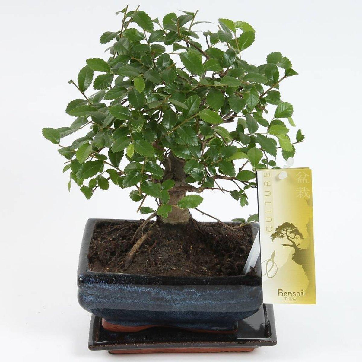 Bonsai Zelkova bolvormig 15 cm, Pot Ø 15 CM