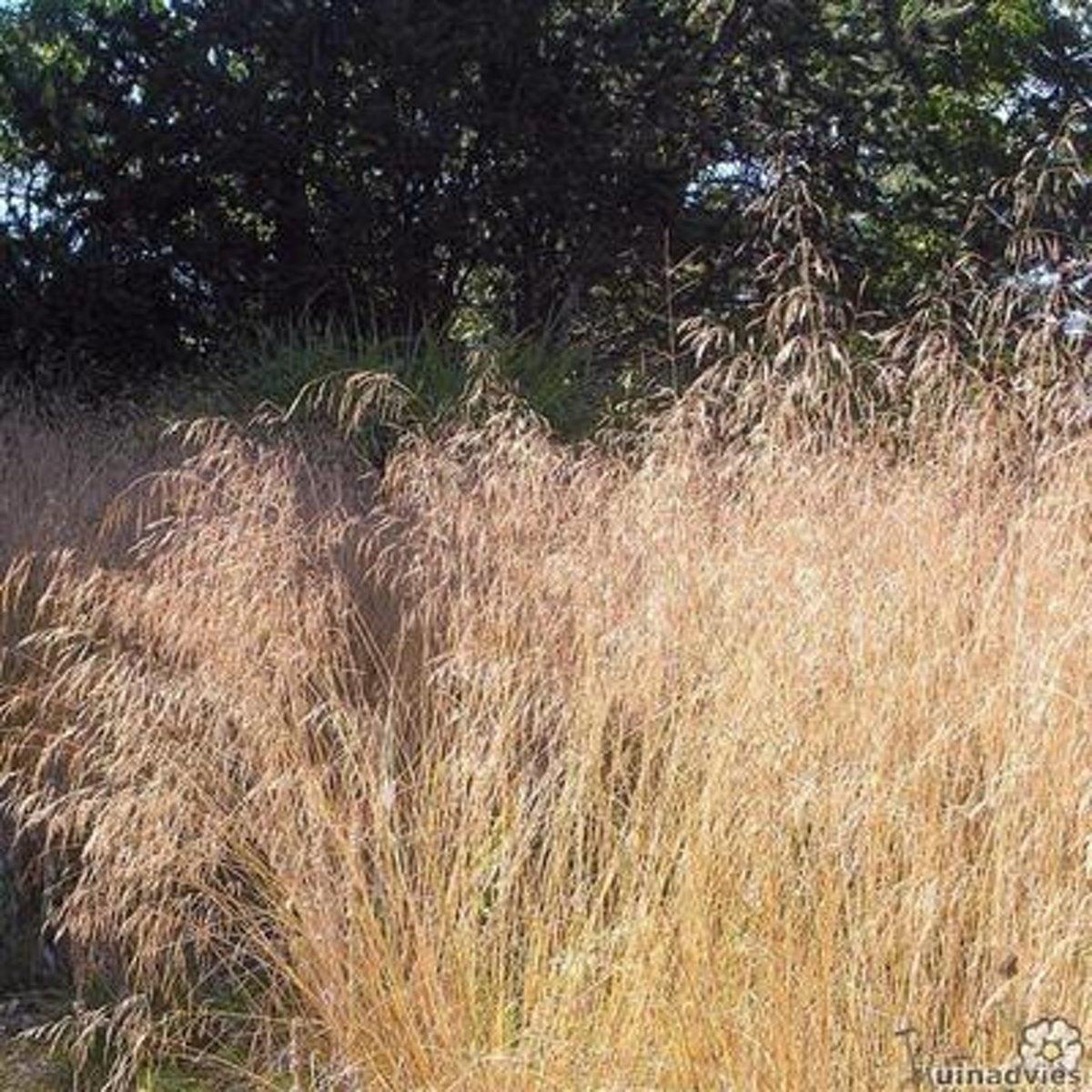 Set 12 stuks Deschampsia cespitosa - Smele kopen