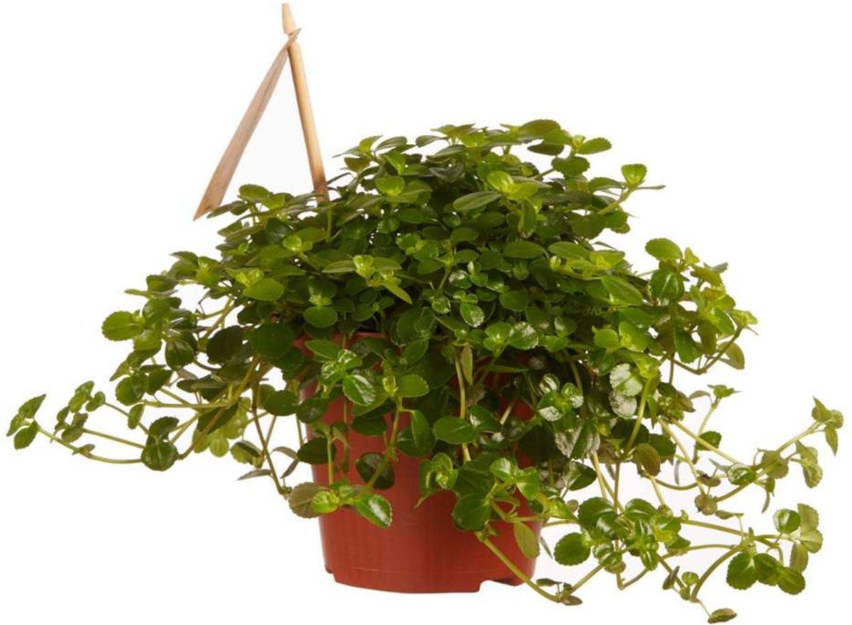 Choice of Green - 1 Pilea Depressa Sao Paulo oftewel - Kamerplant in Kwekerspot ?12 cm - Hoogte ?15 cm kopen