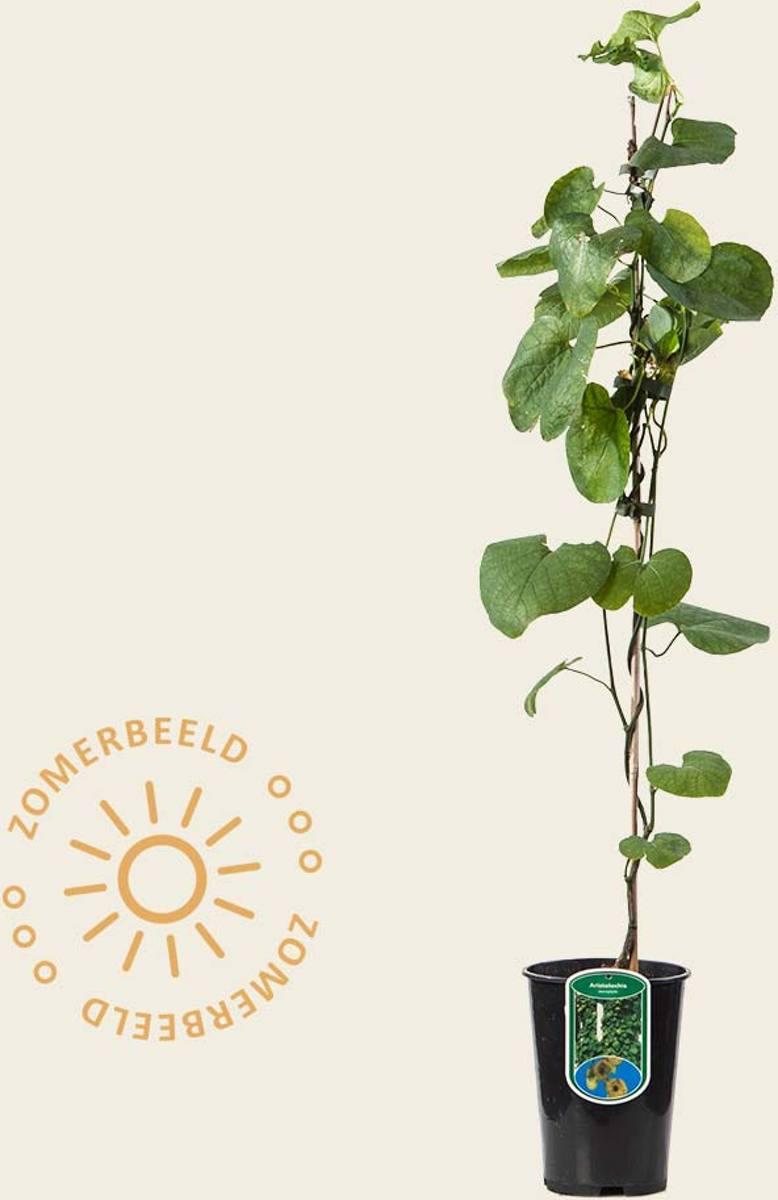Aristolochia durior (macrophylla) kopen