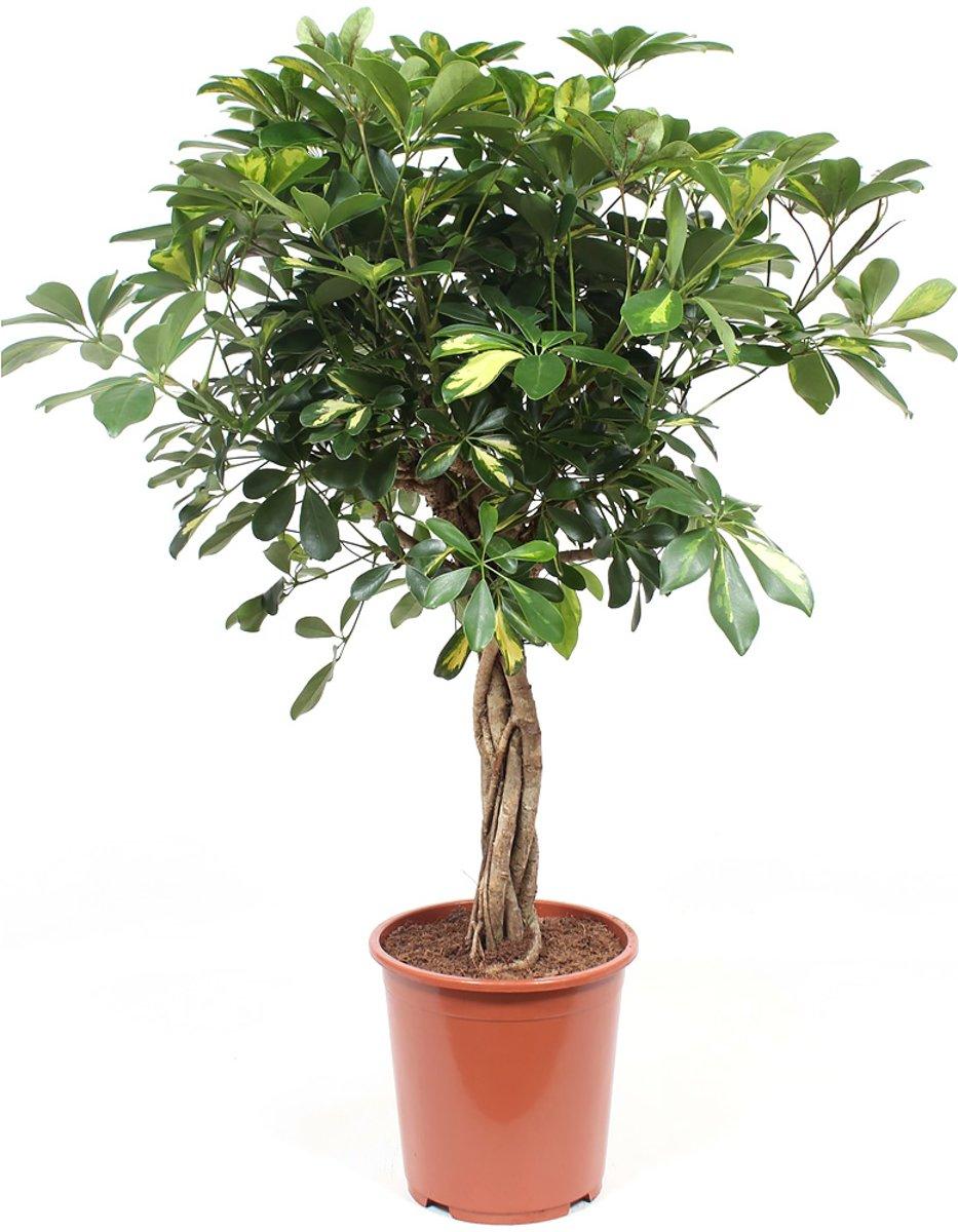 Schefflera Arboricola gold capella Vingerboom kopen