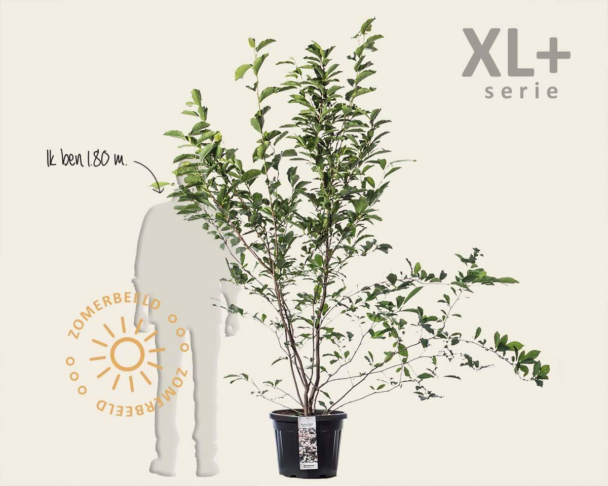 Magnolia soulangeana - XL+ kopen