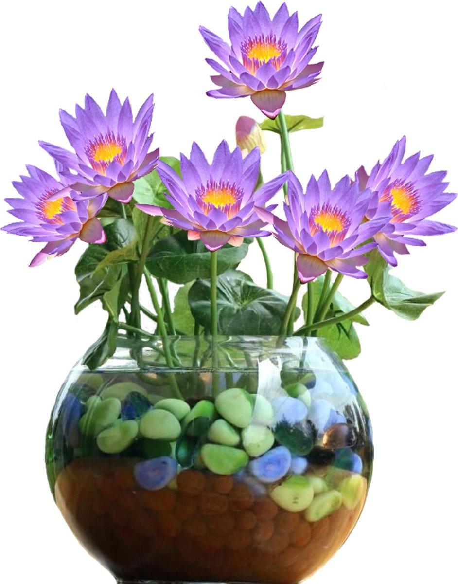 Lila Lotus Set DIY. Leuk Cadeau Moederdag Verjaardag kantoor Plant kopen