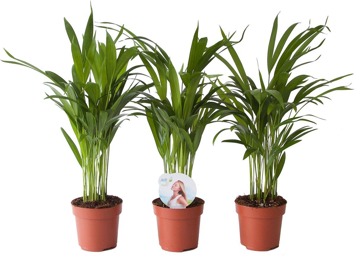 Goudpalm / Goudspalm Areca palm Dypsis 45 cm hoog ( 3 Stuks ) kopen