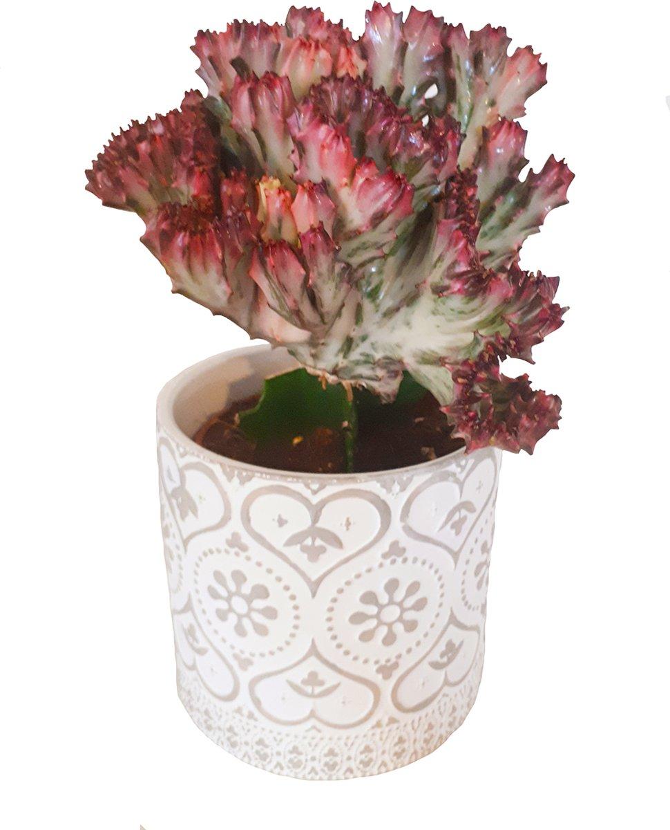 Euphorbia Lactea Cristata met Rode rand. kopen