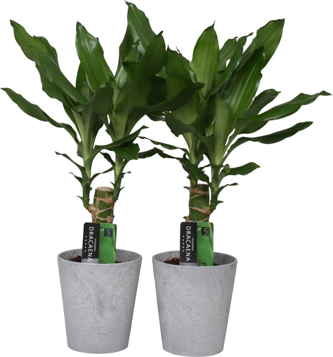 Drakenbloemboom - Dracaena; Steudneri; pot 11 cm; keramiek pot; hoogte 40cm; 2 stuks kopen
