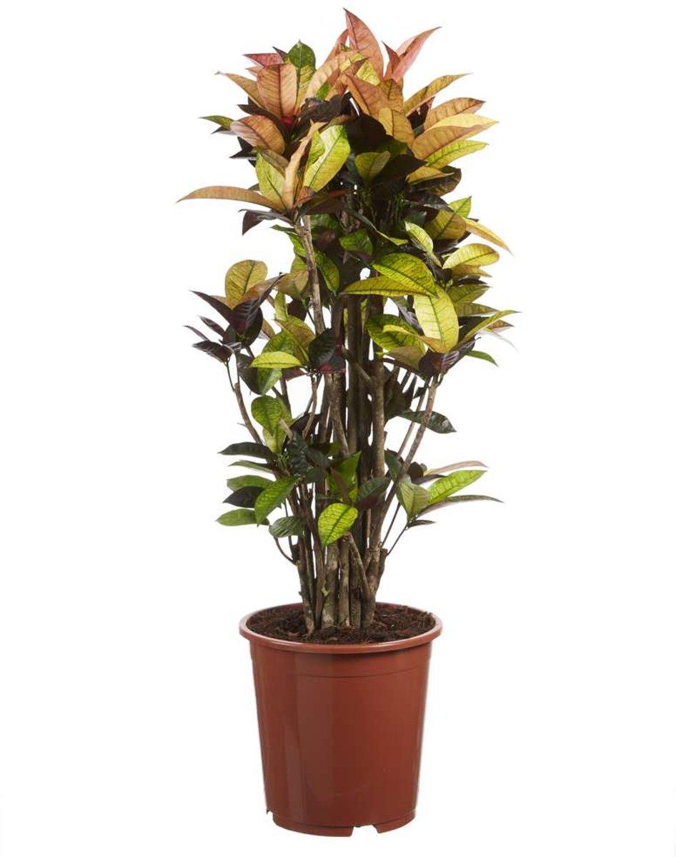 Choice of Green - 1 Codiaeum Iceton oftewel Croton - Kamerplant in Kwekerspot ?27 cm - Hoogte ?120 cm kopen
