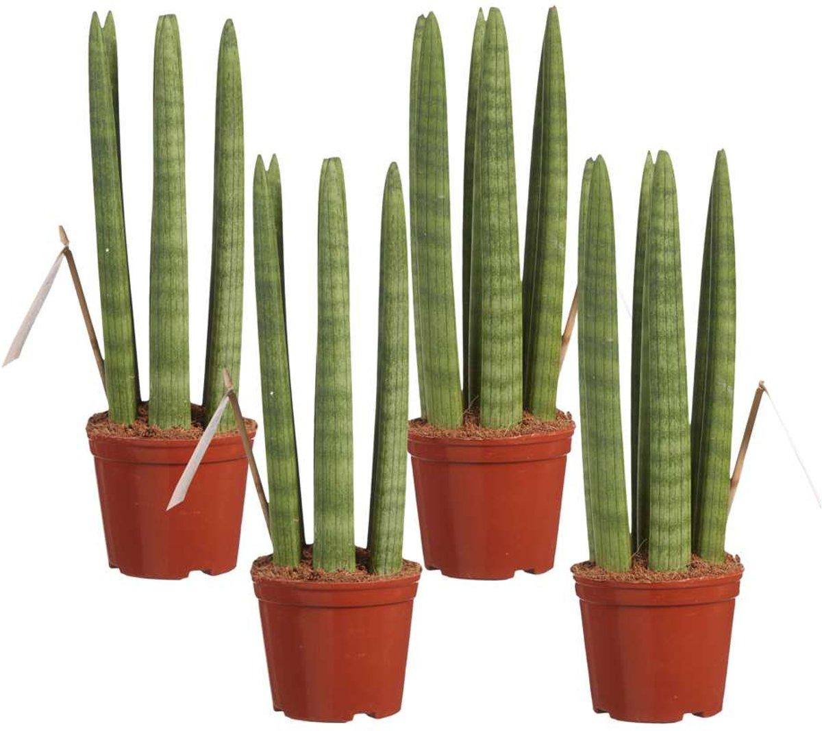 Choice of Green - 4 Sanseveria Straight oftewel Vrouwentong - Kamerplant in Kwekerspot ?10 cm - Hoogte ?30 cm kopen