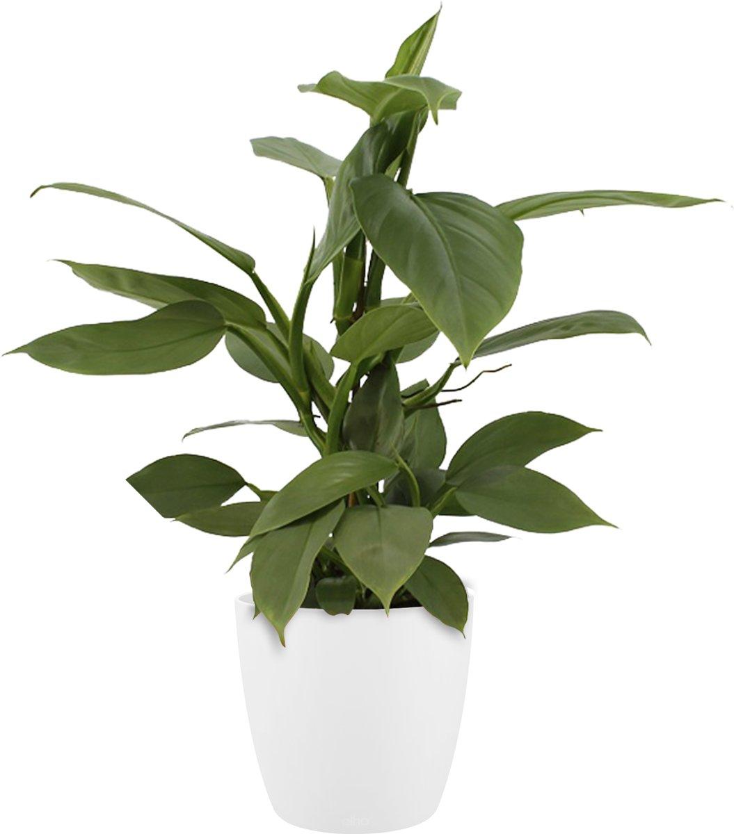 Kamerboom – Philodendron incl. bloempot wit | Hoogte: 40 cm | Philodendron Hastatum kopen