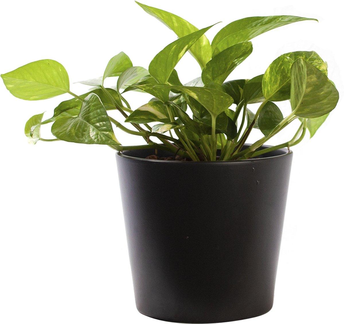 Plant in hydrocultuur systeem van Botanicly: Epipremnum pinatum Aureum met weinig onderhoud – in antraciet kleurig hydrocultuur sierpot – Hoogte: 20 cm