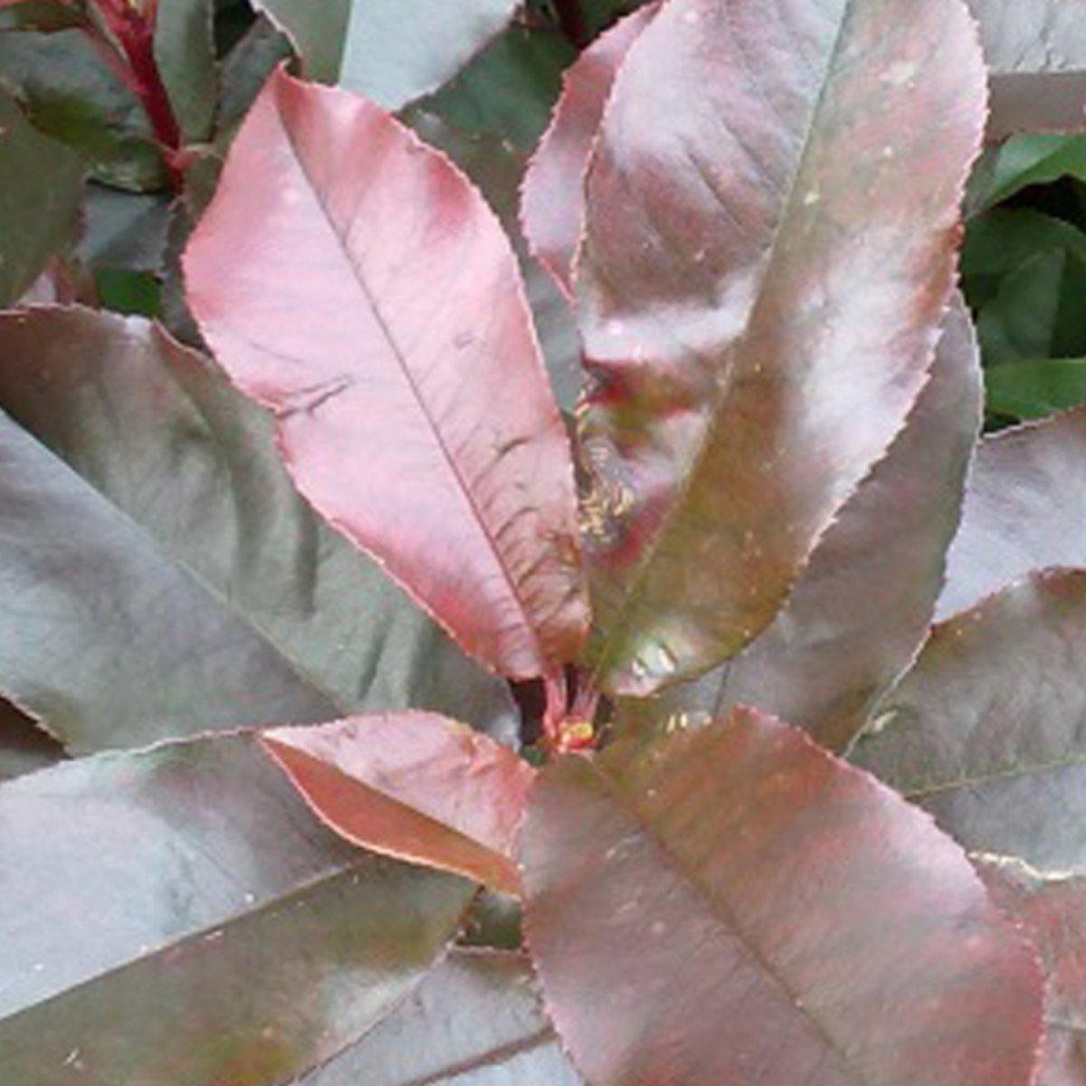 Photinia Fraseri 'Camilvy' - Glansmispel 40-60 in pot kopen