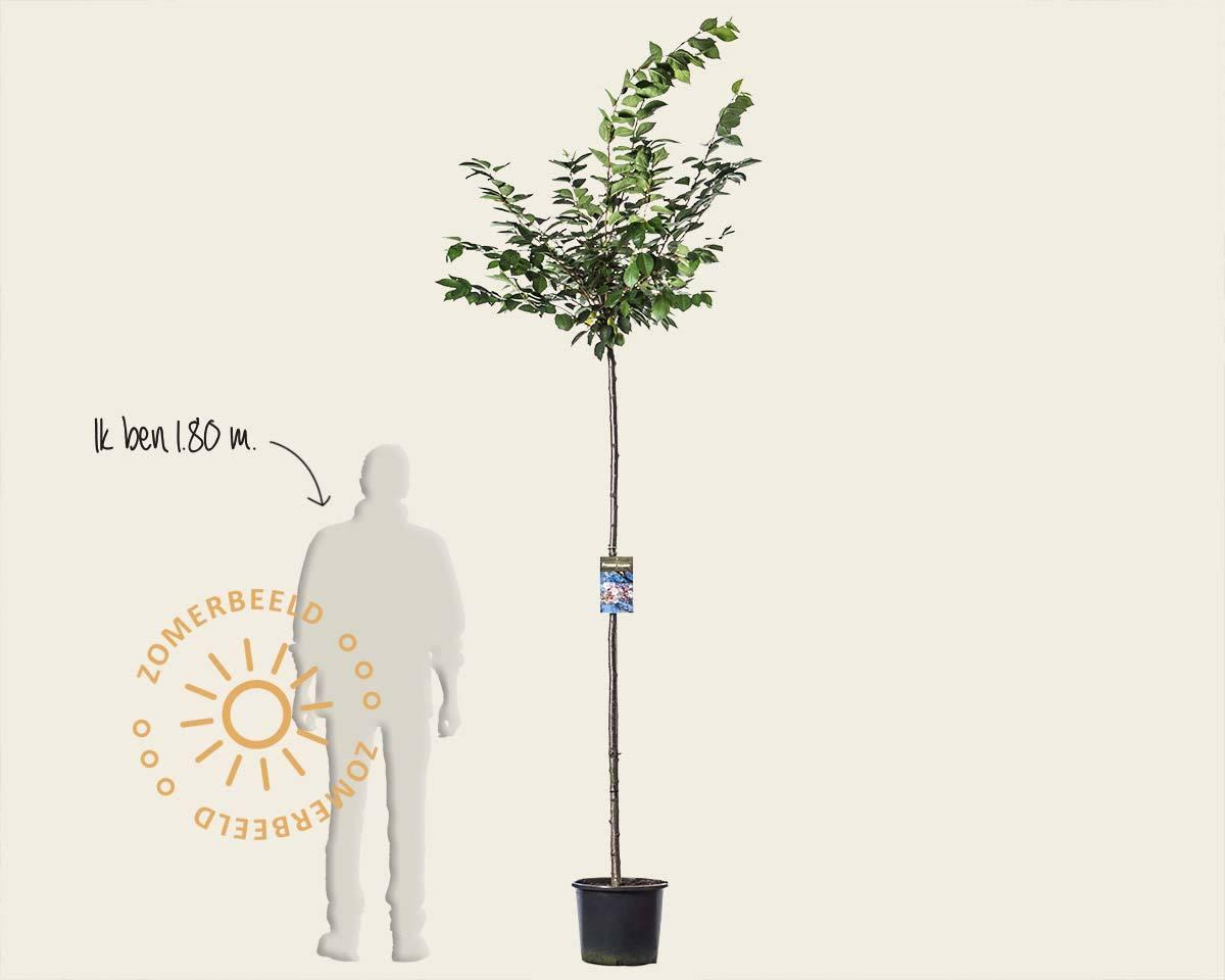 Prunus 'Accolade' - 180 cm stam kopen
